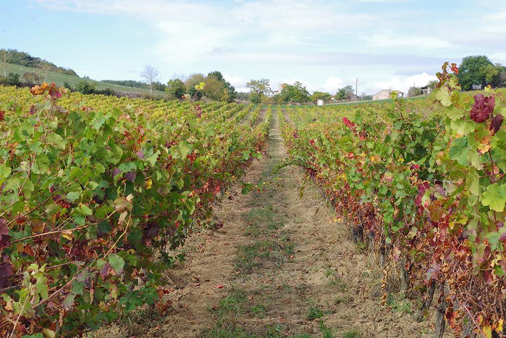 vignes domaine Ambre en biodynamie en Occitanie