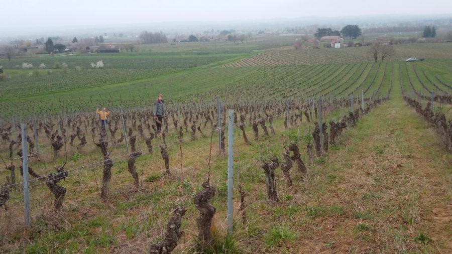 vignes en hiver domaine Ambre près de Gaillac