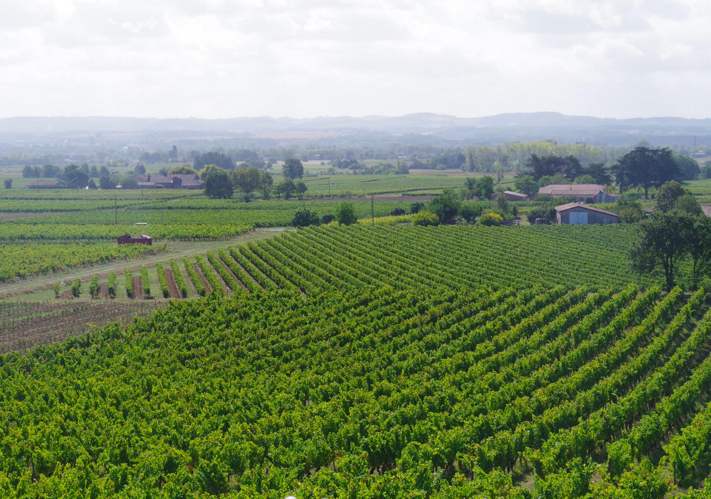 vignes coteau sud domaine Ambre Liste sur Tarn Occitanie